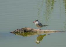 Common Tern on floating log Stock Photo