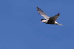 Common Tern flying Stock Photography