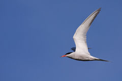 Common Tern flying Stock Images