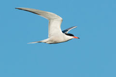 Common Tern Royalty Free Stock Photography
