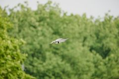 Common tern flying and hovering above water, hunting fish stock photo