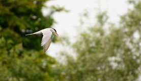 Common Tern Stock Image