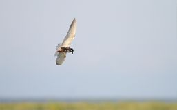 Common tern flying over swamps Stock Image
