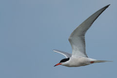 Common Tern Flying By Royalty Free Stock Photo