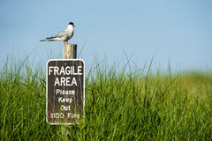 Common Tern with good view Royalty Free Stock Image