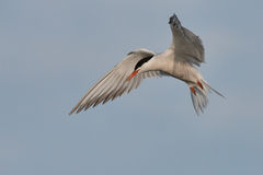Common Tern hovering Royalty Free Stock Photos