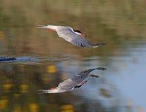Common Tern. Kalloni salt pans,Lesvos stock photography