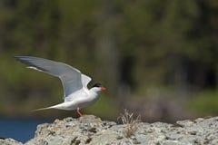 Common tern landing Stock Photo
