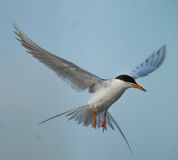 Common Tern. In landing flight Royalty Free Stock Photography