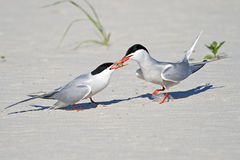 Common Tern mating ritual Stock Image