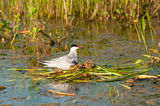 Common Tern Nest Stock Photography