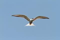 Common tern over blue sky Stock Photos