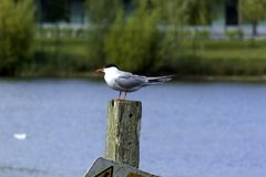 Common Tern. In the park Royalty Free Stock Photo