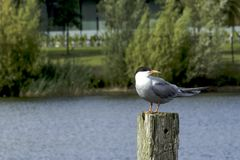 Common Tern. In the park Stock Photography