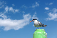 Common tern perched on a maritime marker buoy Stock Images