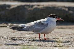 Common Tern Stock Photos