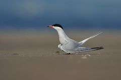Common tern is posing. A Common tern is posing with tail up on the ground Stock Photo