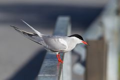 Common tern preparing to dive. Common tern Sterna hirundo on a railing preparing to dive after fish Royalty Free Stock Images
