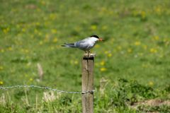 A Common Tern royalty free stock photo