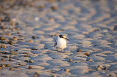 Common Tern on sand Royalty Free Stock Images