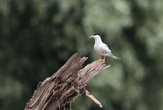 Common Tern sitting by the tree Stock Photography