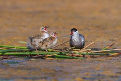 Free Common Tern Sterna Hirundo Royalty Free Stock Photo - 104020725