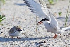 Common Tern (Sterna Hirundo) Royalty Free Stock Photos