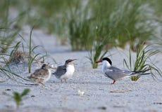Common Tern (Sterna Hirundo) Royalty Free Stock Image