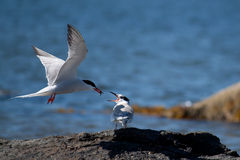 Common Tern (Sterna hirundo) Royalty Free Stock Photo
