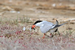 Common tern (sterna hirundo) Stock Photography