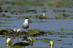 Common tern (Sterna hirundo). Sitting on water lilies leaves Royalty Free Stock Photography