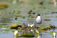 Common tern (Sterna hirundo). Sitting on water lilies leaves Royalty Free Stock Images