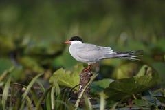 Common Tern, Sterna Hirundo Royalty Free Stock Images