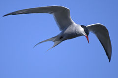 Common tern, sterna hirundo Stock Photos