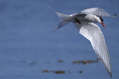 Common tern, sterna hirundo. Closeup portrait Stock Photos