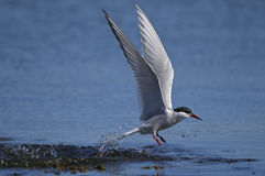 Common tern, sterna hirundo Royalty Free Stock Photo