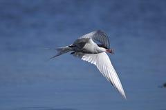 Common tern, sterna hirundo. Closeup portrait Royalty Free Stock Photo