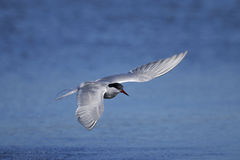 Common tern, sterna hirundo Royalty Free Stock Images