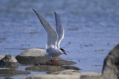 Common tern, sterna hirundo. Portrait Royalty Free Stock Images