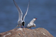 Common tern, sterna hirundo Stock Photography