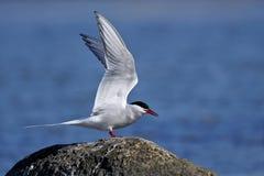Common tern, sterna hirundo Royalty Free Stock Photos