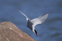 Common tern, sterna hirundo. Portrait Royalty Free Stock Photo