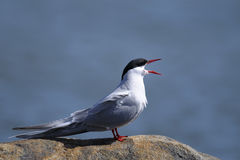 Common tern, sterna hirundo Royalty Free Stock Photography