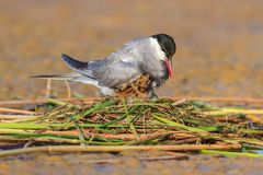 Common tern sterna hirundo. And baby bird Royalty Free Stock Images