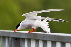 Common tern. (Sterna hirundo) balancing in a gust of wind Stock Photography