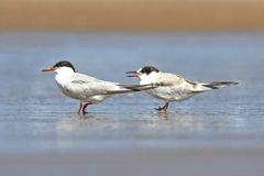 Common Tern (Sterna hirundo) Stock Images
