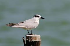 Common Tern Sterna hirundo Royalty Free Stock Photos