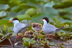 Common tern & x28;Sterna hirundo& x29;. On colony, with chick Royalty Free Stock Photo