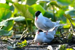 Common tern & x28;Sterna hirundo& x29;. Mating Royalty Free Stock Photography