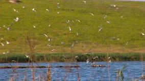 Common Tern stock footage